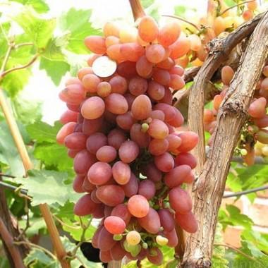 Сорт винограда 887