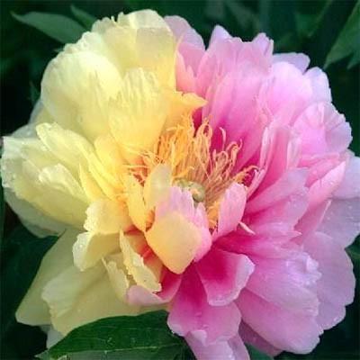 Сорта цветов пион