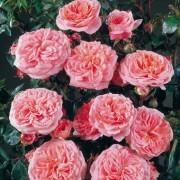 Роза Pirouette