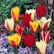 Тюльпан Greigi Микс 100