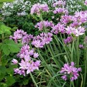 Аллиум Unifolium
