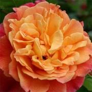 Роза Aloha