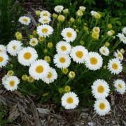 Астра Alpinus White