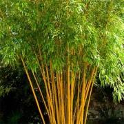 Бамбук Aureocaulis