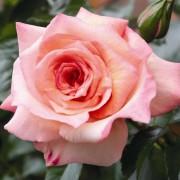 Роза Barock