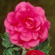 Бегония махровая розовая 25