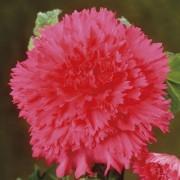 Бегония Fimbriata Розовая