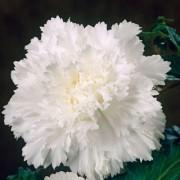 Бегония Fimbriata Белая