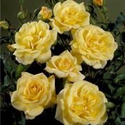 Роза Bella