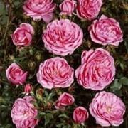 Роза Blues