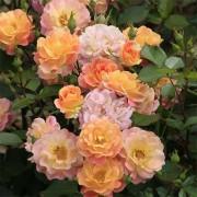 Роза Bordure Camaieu