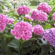 Гортензия Bouqet Rose