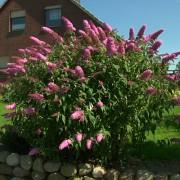 Буддлея Pink Delight