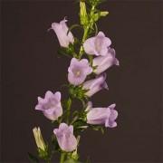 Кампанула Champion Lavender