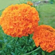 Бархатцы Купидон, оранжевые