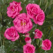 Роза Climbing Violette Parfume