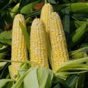 Кукуруза Брусника