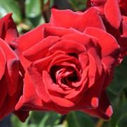 Роза Courage