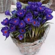 Крокус Flower Record 100
