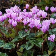 Цикламен садовый Hederifolium