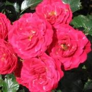 Роза Dacapo