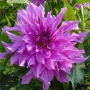 Георгина Lavender Ruffles