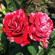 Роза Deep Impression