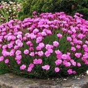 Гвоздика Pink Jewell
