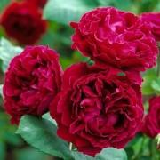 Роза Duke of Edinburgh