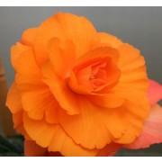 Бегония Multiflora Maxima оранжевая
