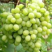 Виноград Мускат Жемчужный