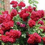 Роза Flamentanz