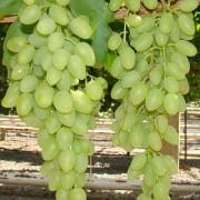 Виноград Кишмиш Долгожданный