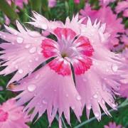 Гвоздика Розовый Амур