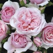 Роза Natascha Richardson
