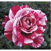 Роза Rachel Louise Moran