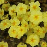 Гелиантемум Wisley Primrose