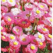 Гелиптерум розеум Гулливер