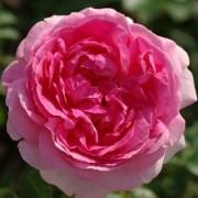 Роза Hermitage
