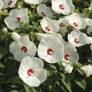 Гибискус садовый Luna White