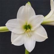 Амариллис White Rascal