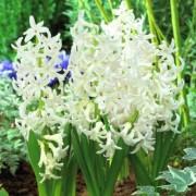 Гиацинт White Festival (горшок 7 см)