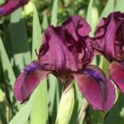 Ирис Pumila Cherry Garden