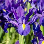 Ирис Hollandica Discovery Purple