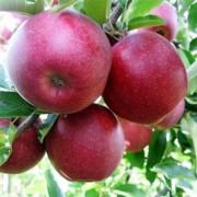 Яблоня Джонапринц