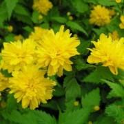 Керия японская Pleniflora