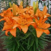 Лилия Orange Pixie