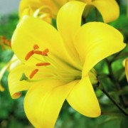 Лилия Yellow Planet