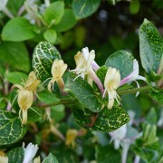 Жимолость японская Aureoreticulata