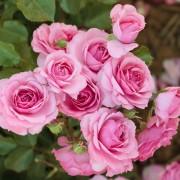 Роза плетистая Climbing Bonica 98